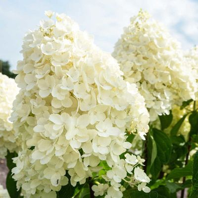 paniculata summer snow1