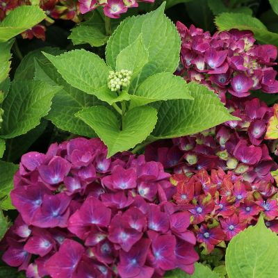 гортензия three-sisters-violett
