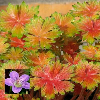 geranium fay anna
