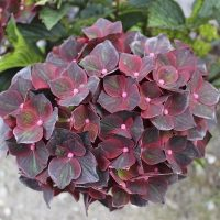 hydrangea black_knight1