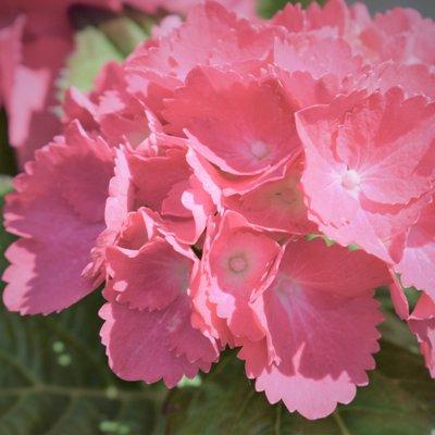 hydrangea-macrophylla-dolce-farfalle